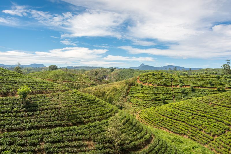 tea plantations near ella in sri lanka