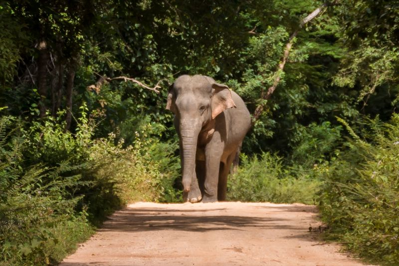 wild elephant on the road in sri lanka