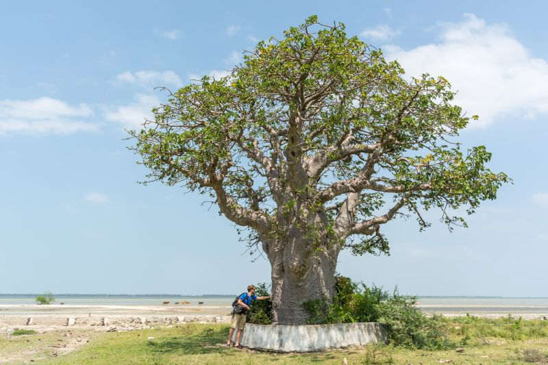 baobab tree in mannar sri lanka