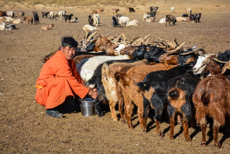 Mongolian herder milking his cattle