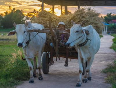 cambodia kratie koh trong cows