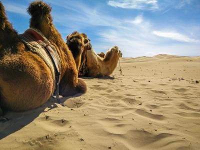 mongolia khongoryn els camels