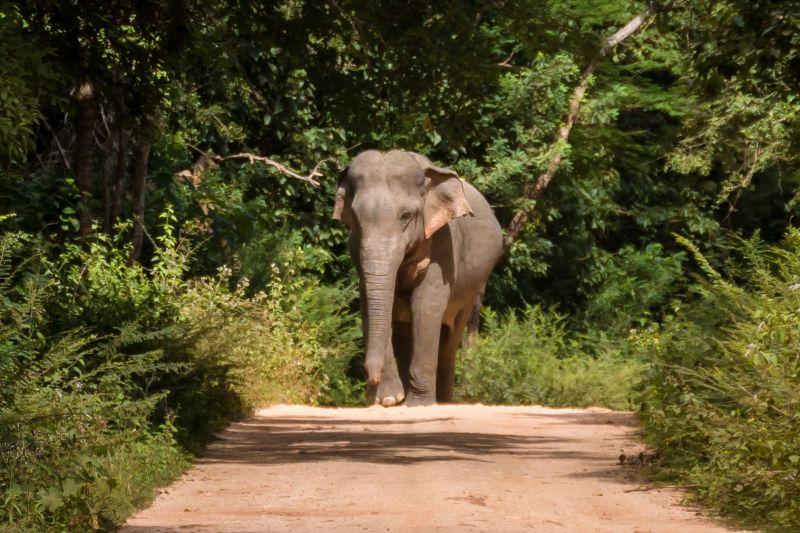 wild elephant on the road in sri lanka