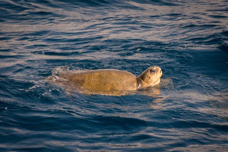 sri lanka mirissa sea turtle