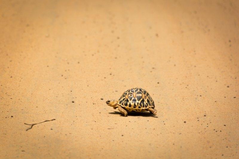 sri lanka turtle wilpatu national park