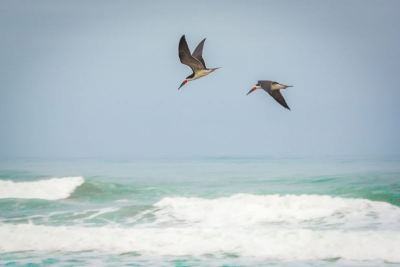 sea birds camana peru
