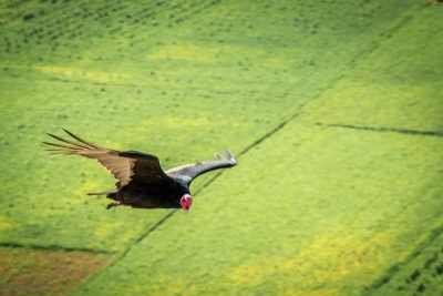 vulture in camana peru