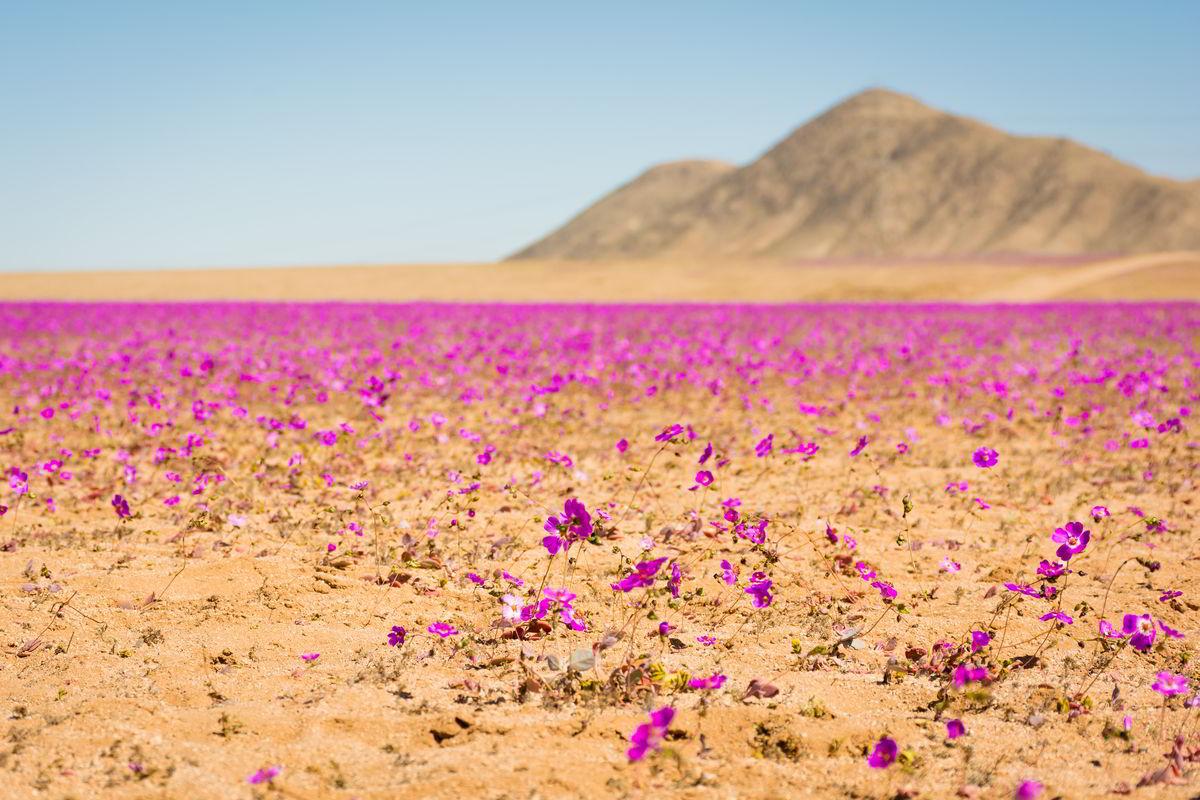 atacama desert chili flower desert