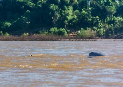 irrawady dolphin kratie