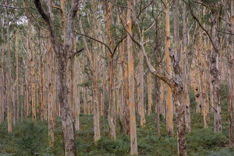 western australia margaret river karri forest